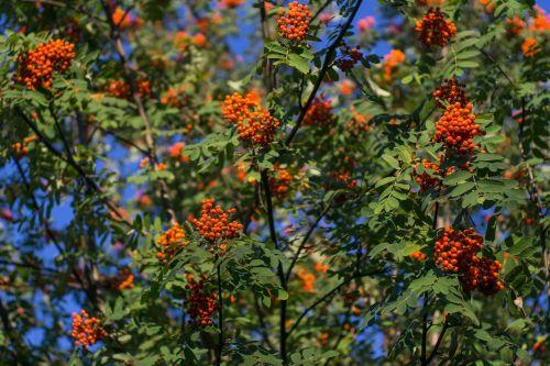 rowan tree rowan berries