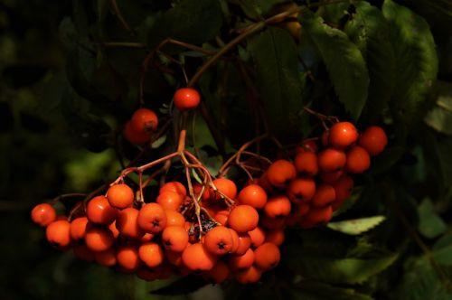 rowan nature rowan berries