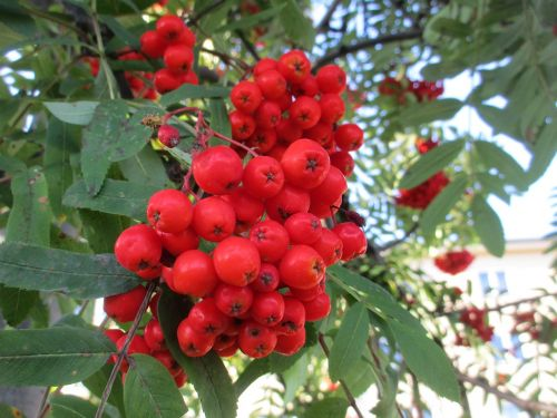 rowan rowanberry sorbus