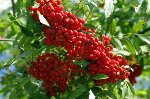rowan fruit red