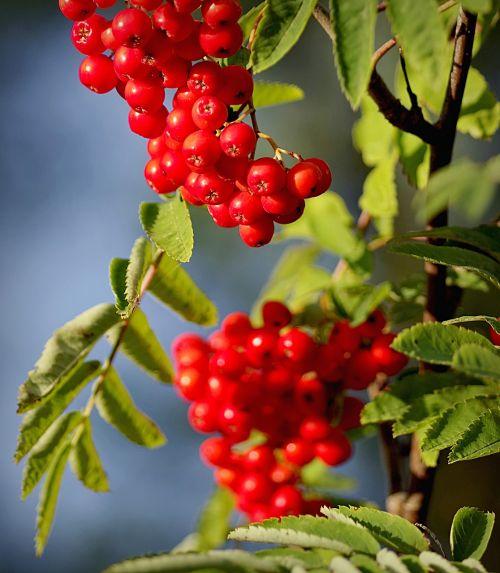 rowan autumn chaplet