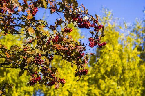 rowan autumn plant