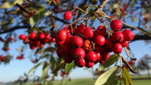 rowan tree red
