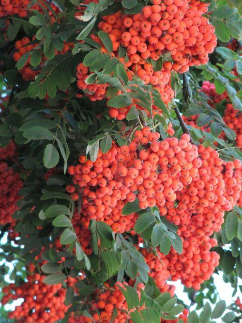 rowan orange autumn