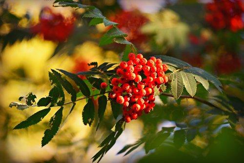 rowan  berries  sorbus