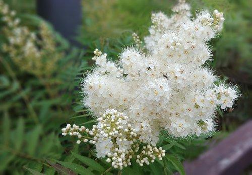 rowan  rowan flower  white flower