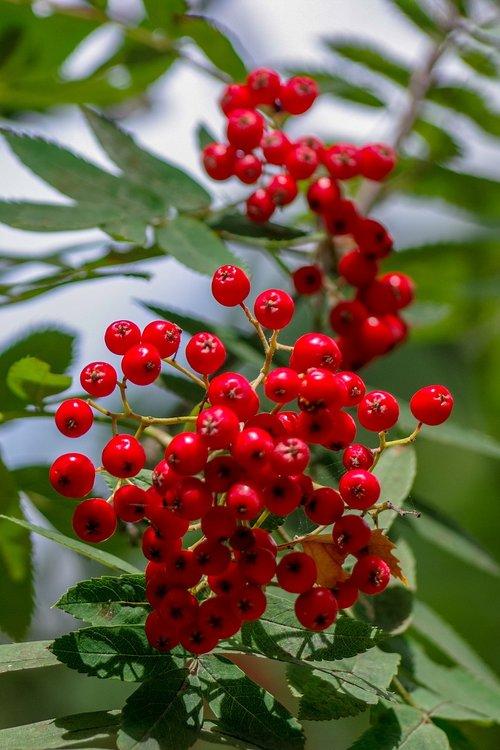 rowan  autumn  red