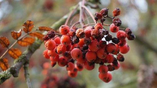 rowan  autumn  rowanberries