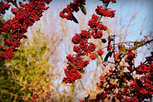 rowan  sorbus  berry