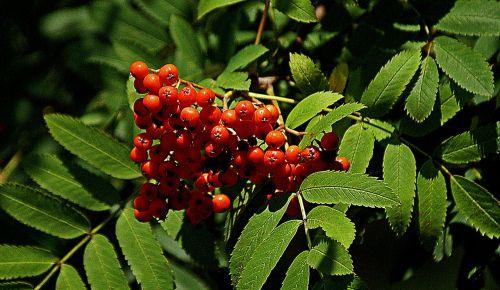 rowan rowan berries red fruits