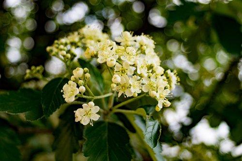 rowan  sorbus  tree