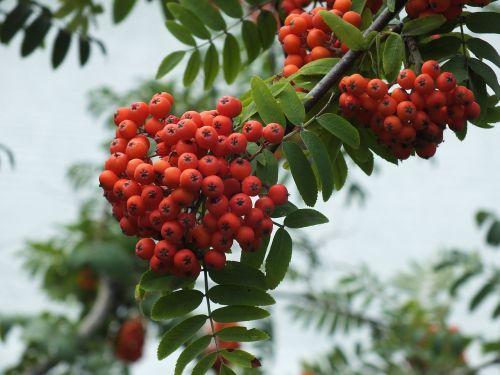rowan berry clusters of rowan