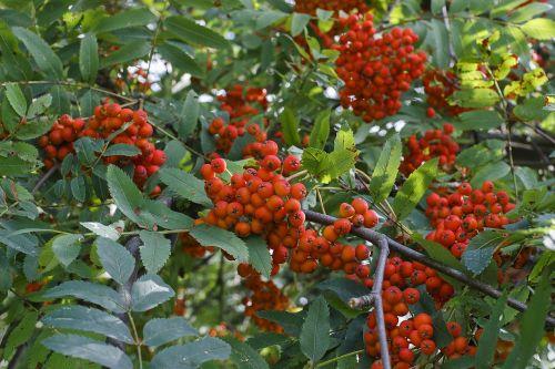 rowan red tree