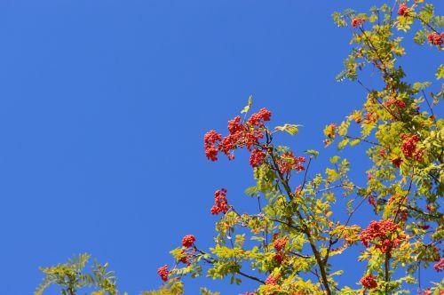 rowan sky berry