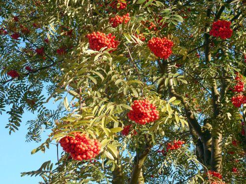 rowan,kalnų pelenai,uogos,raudona,pelenai,vaisiai,ruduo