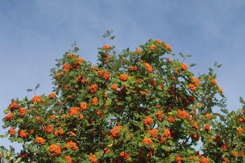 rowan berries crown tree