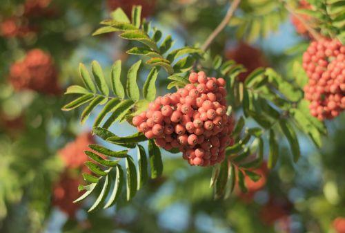 rowan berries autumn red