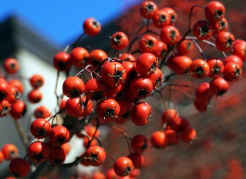 rowan berries berries plant