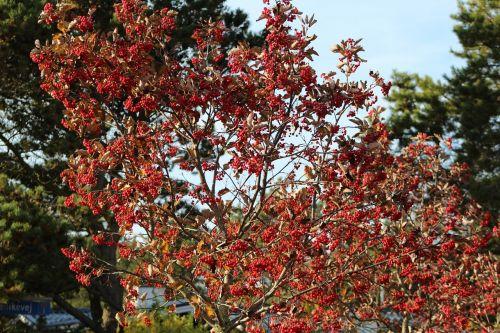 paprastosios gervuogės,krūmas,vaisiai,gamta,raudona,uogų raudona,uogos,apsidraudimas
