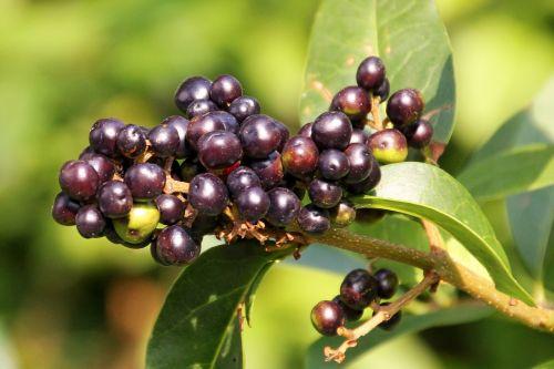 rowanberries berries black berries