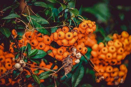 rowanberries  bush  berries