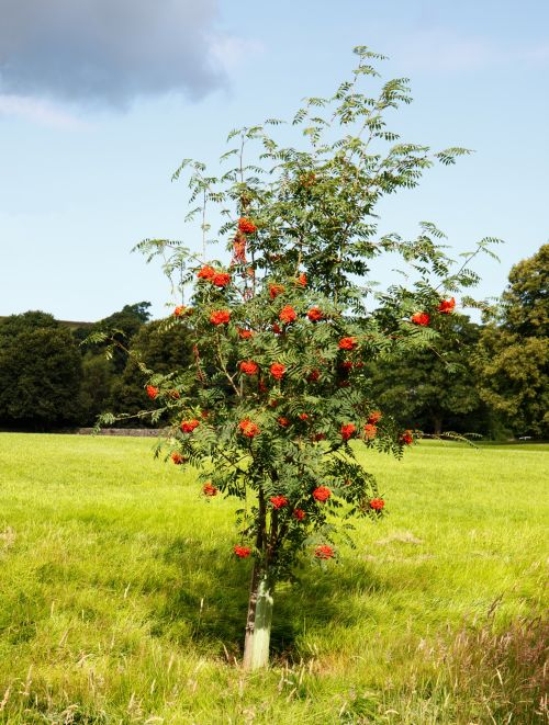 Rowan Trees With Red Berries