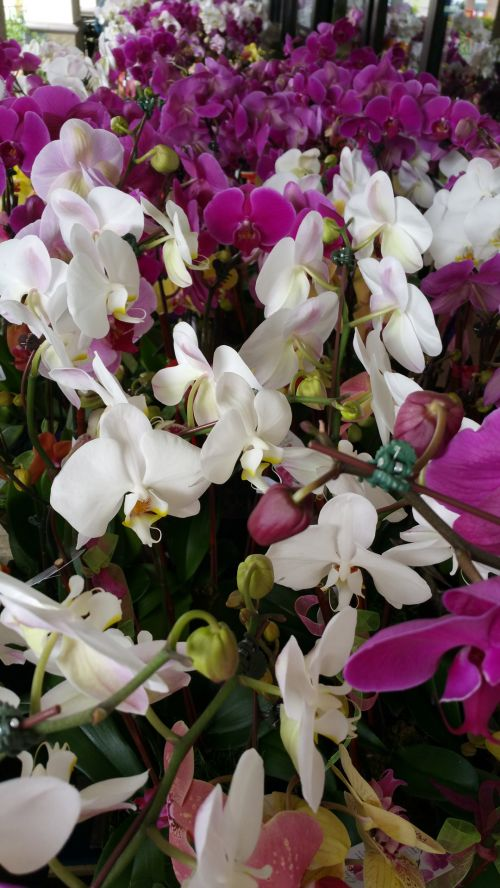 Rows Of Orchids