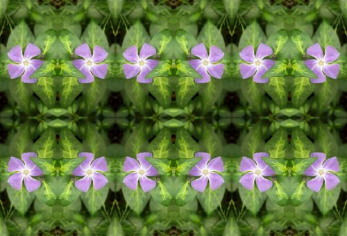 Rows Of Periwinkle Flowers