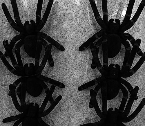 Rows Of Tarantula Spiders
