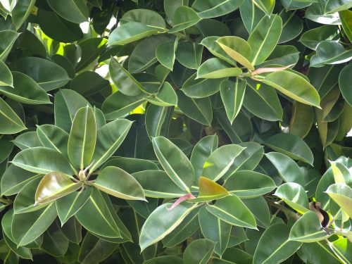 rubber tree plant green