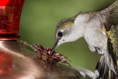ruby-throated hummingbird female bill