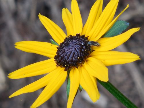 rudbeckia black eyed susan flower