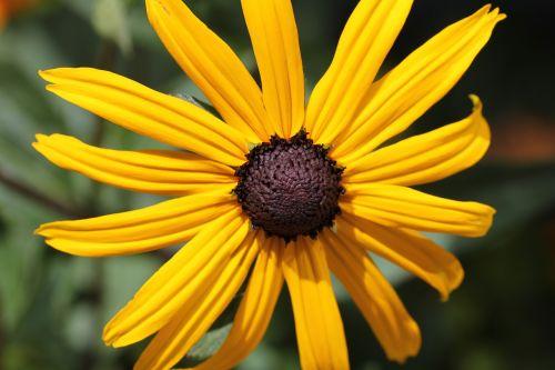 rudbeckia,dygliuota veislė,gėlė,geltona,oranžinė,sodas,gėlių,augalas