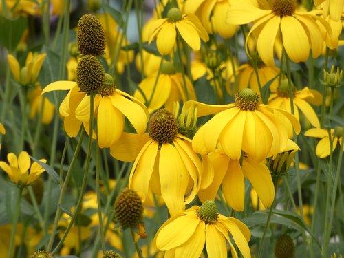 rudbeckia  asteraceae  fauna