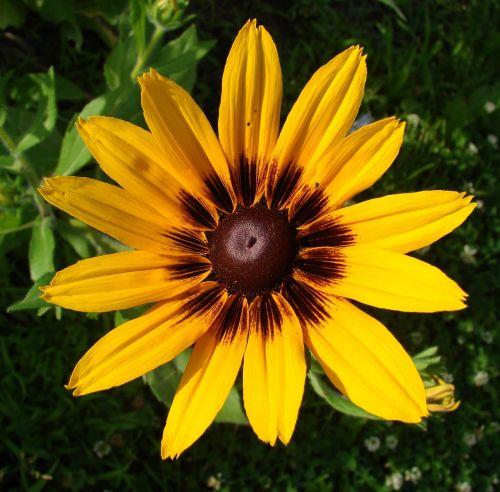 rudbeckia hirta flower