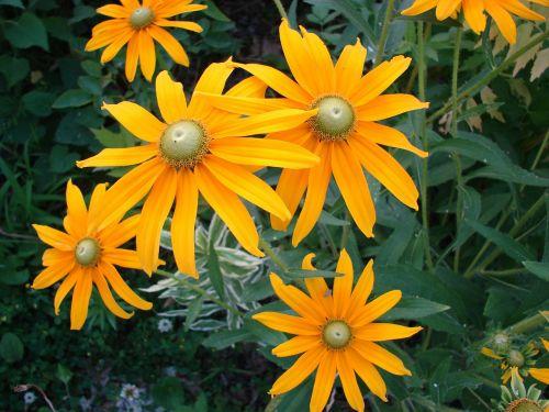 rudbeckia hirta flower bloom