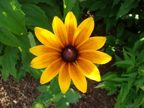 rudbeckia hirta black eyed susan flower