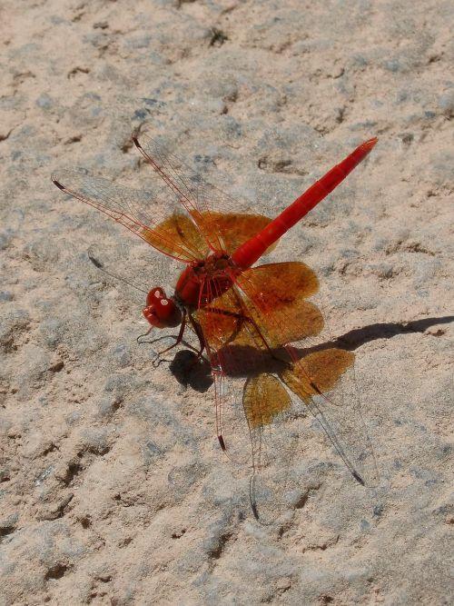 ruddy darter red dragonfly shadow
