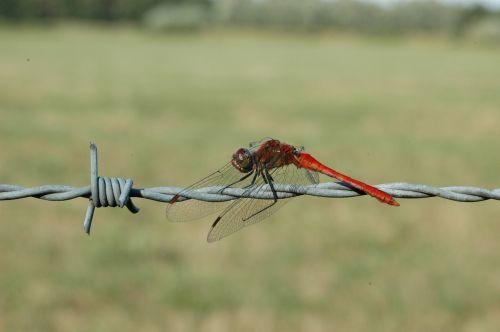 ruddy darter dragonfly macro