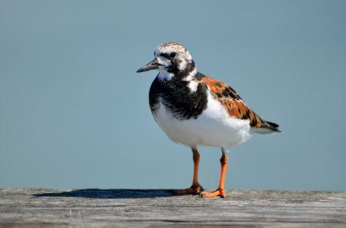 Ruddy Turnstone Bird