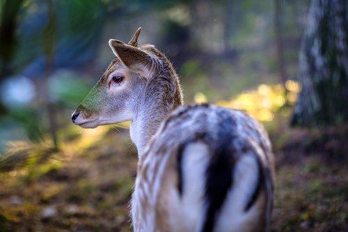 rudolph  fawn  deer
