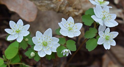 rue anemone,grupavimas,wildflower,gėlė,žiedas,žydėti,gamta,augalas,trapi,subtilus,balta,geltona,pavasaris,miškas,miškai