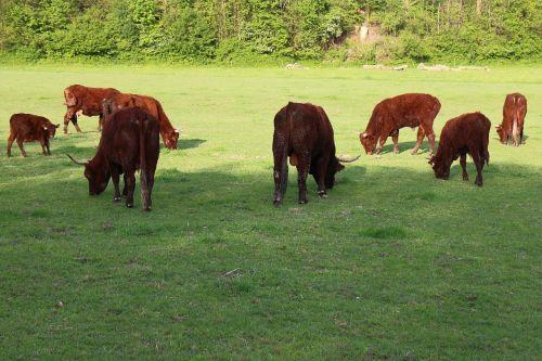 ruminant cattle livestock