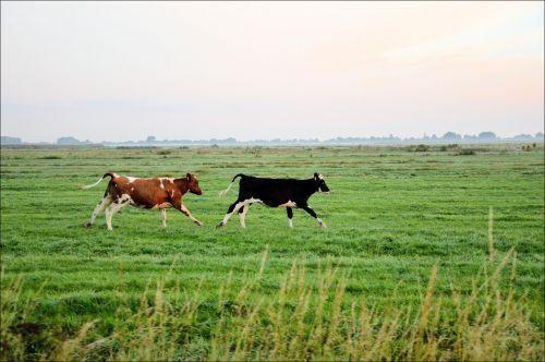 Running Bulls 8