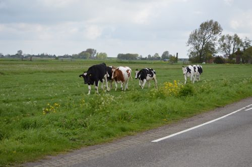 Two Running Cows