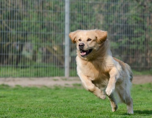 running dog retriever long coat