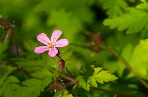 ruprecht herb  flower  blossom