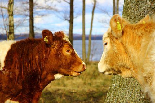 rural life cows bait