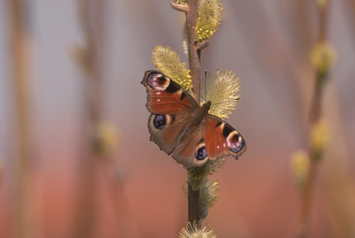 rusalka  butterfly  mo