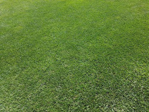 rush ornamental grass green